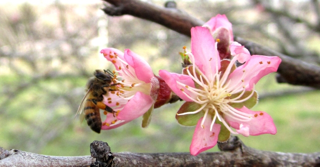 Bee Peach Blossom