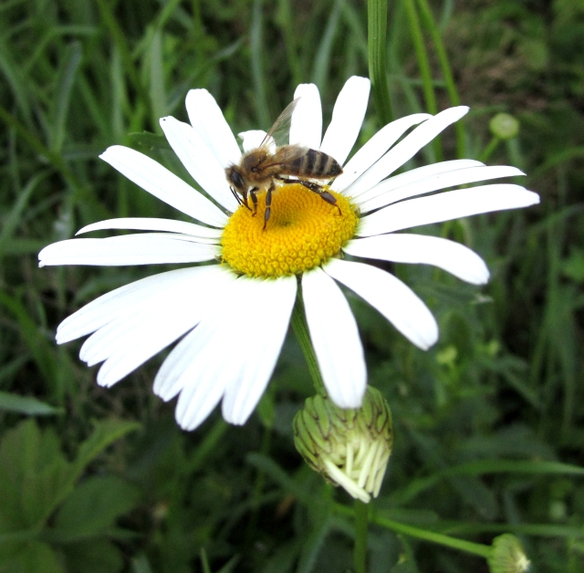 Bee on Shasta Daisy