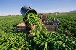 Harvesting Green Chiles in the Hatch Valley