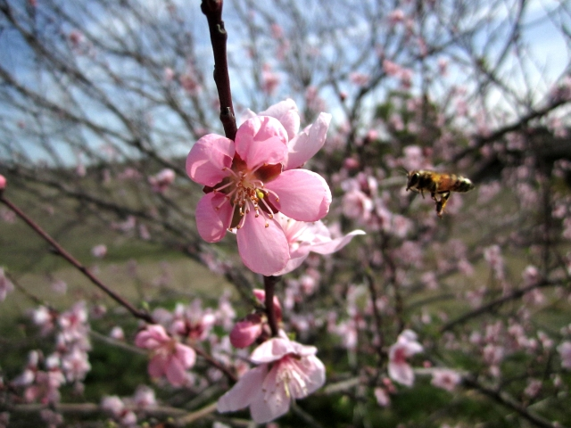 Honey Bee coming in for a landing on a peach blossom