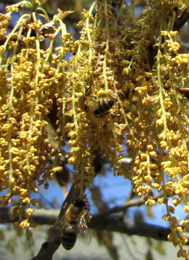 2 Bees gather pollen for their hive