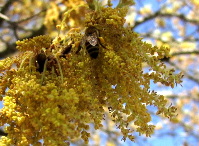 Forager bee gathering pollen in a Red Oak tree
