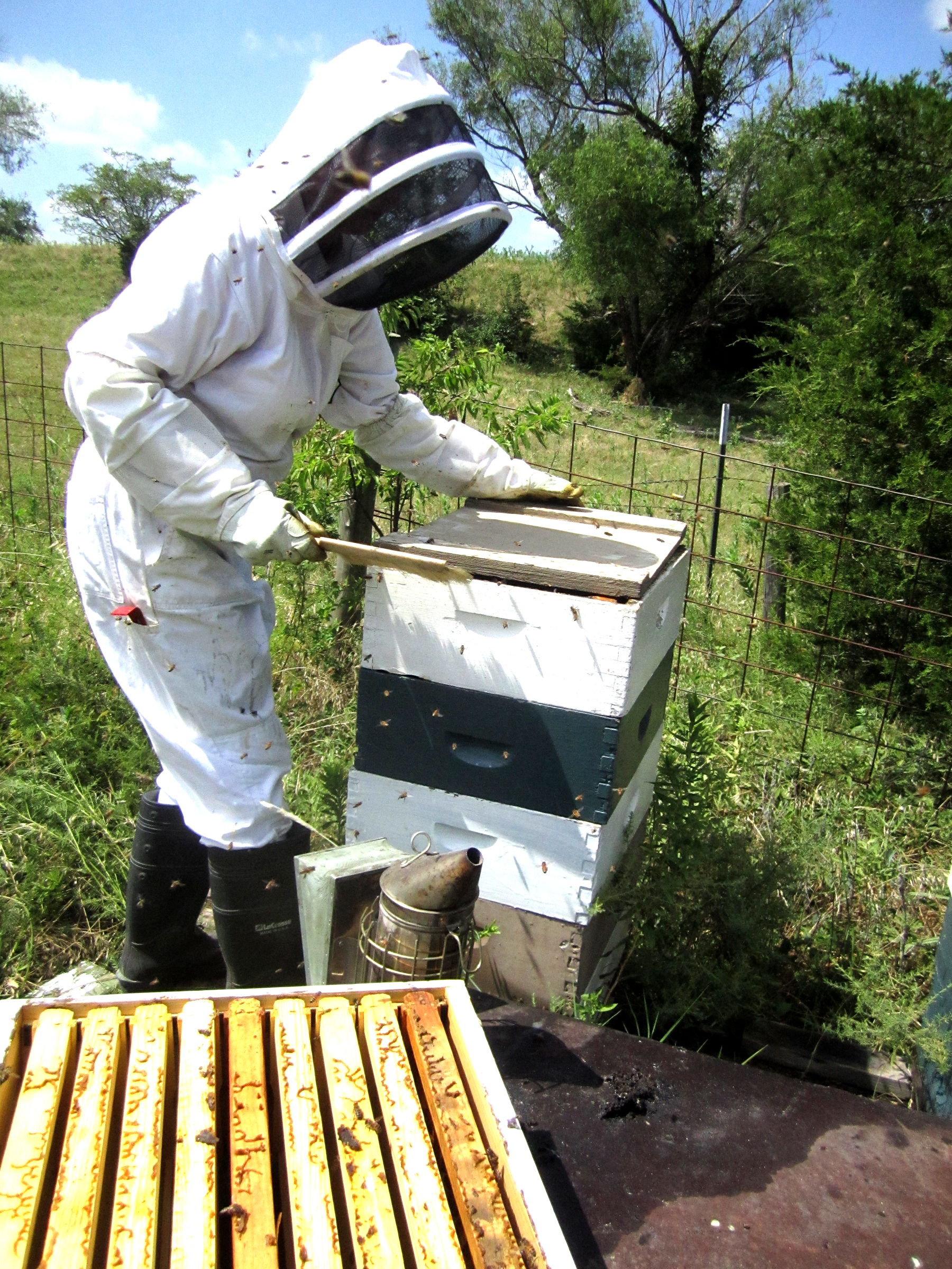 Opening each hive and removing frames full of capped honey - always being careful not to harm any bees.