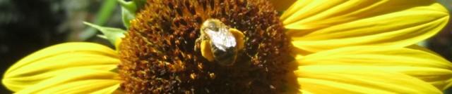 cropped-beesunflower2.jpg