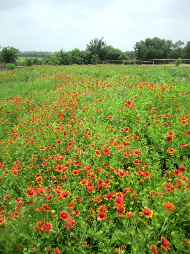 Indian Blankets - food for bees