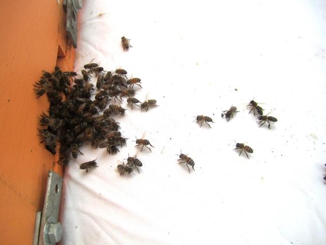 Swarm headed into hive