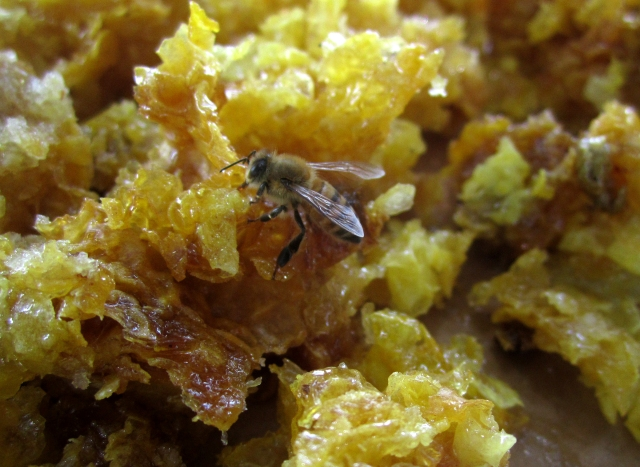 This is the other special treat I take back to the bees.  These are the scraps from cutting off the wax cappings.  After it is set out on a table within about half an hour the bees are flocking to it and when they finish removing the honey and usable wax from this I am left with crumbs.  The bees know all about recycling!