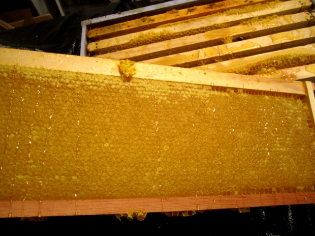 A frame full of beautiful honey fully capped and ready for harvest.