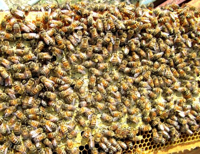 BeesCappedHoney